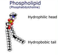 Phospholipids (Фосфолипиды) - сложные липиды, сложные эфиры многоатомных спиртов и высших жирных кислот. Содержат остаток фосфорной кислоты и соединенную с ней добавочную группу атомов различной химической природы