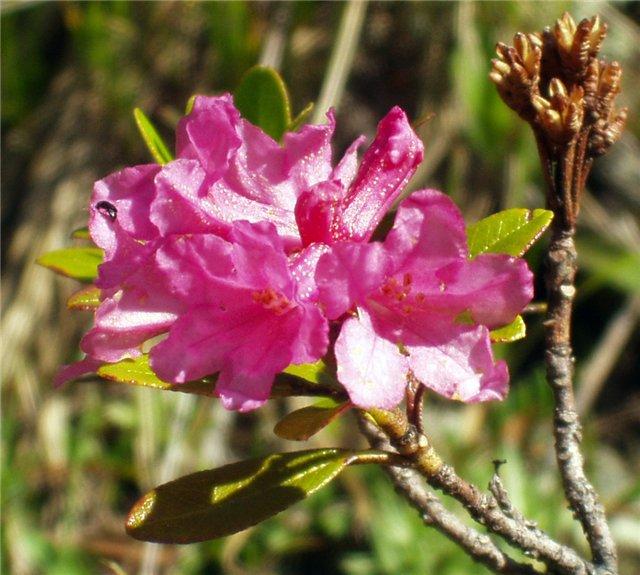 Rhododendron ferrugineum Leaf CELL CULTURE EXTRACT (DRY) (Рододендрон ржавый) - Защищает ноготь, позволяя при этом дышать, но не допуская контакта с влагой и предотвращая расслаивание. Делает ногти более крепкими и гибкими. Ухаживающий компонент на основе растительных стволовых клеток альпийского рододендрона. Укепляет защитную функцию ногтевой пластины. Ногти лучше адаптируются к резким изменениям температуры и стрессовым воздействиям окружающей среды. Стволовые клетки экстракта альпийской розы (рододендрона) являются биостимуляторами собственных стволовых клеток человека, увеличивая их активность, способствуя восстановлению и продлению жизнеспособности. Предохраняют ногтевую пластину от истончения, обезвоживания