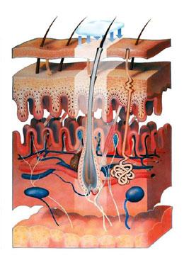 Чем больше наука накапливает знаний о строении кожи, ее функциях и потребностях, тем эффективнее становятся косметические средства.