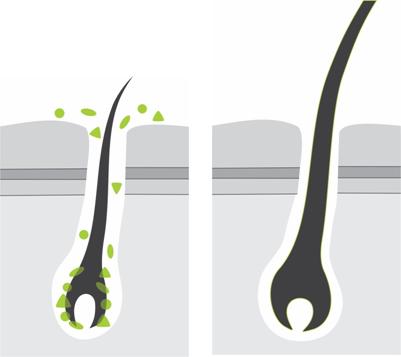 Питание волосяной луковицы