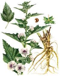 В косметологии корень алтея славится своими потрясающими антиоксидантными и противовоспалительными свойствами