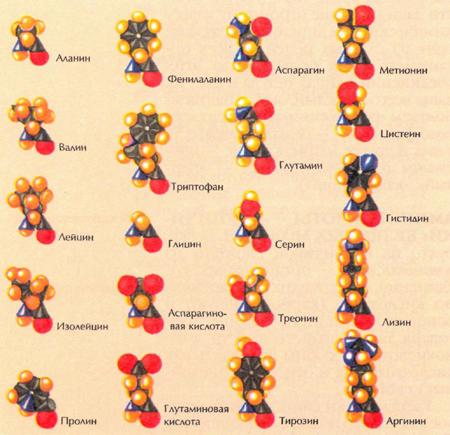 Аминокислотные комплексы – широко распространенные аминосодержащие пищевые добавки. Аминокислоты представляют собой базовые составляющие белка и необходимы организму для построения органических белков и ферментов, являющихся важными элементами обмена веществ организма человека