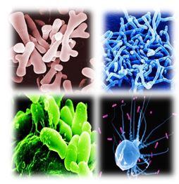 Бифидобактерии — это бактерии-палочки, имеющие типичные булавовидные утолщения на концах и напоминающие по форме латинские буквы V, X, Y