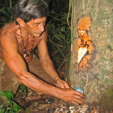 Копайский бальзам получают из смолы дерева Копайфера, семейства бобовых