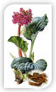 Бадан, как лекарственное сырье содержит в себе: дубильные вещества, углеводы, витамины, флавоноиды, фитонциды, арбутин, марганец, медь, железо, полифенолы, крахмал, смолы.