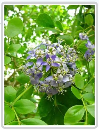 Отвар древесины бакаутового дерева применяется при подагре и ревматизме, а настой смолы – при болезнях суставов