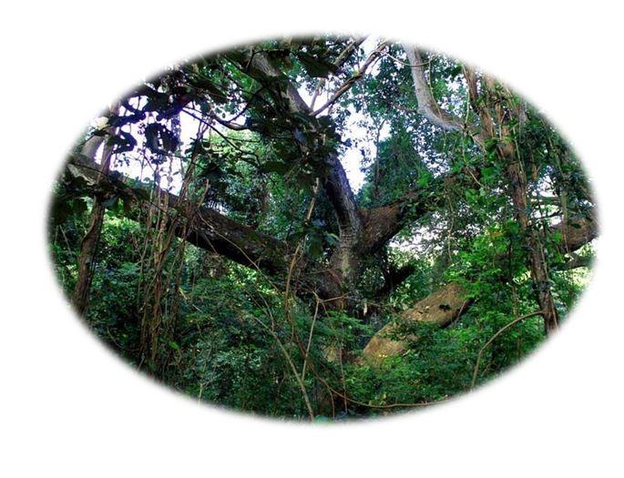Балийская древесина ценный материал из которого получают изысканный аромат, пользующийся популярностью у парфюмеров