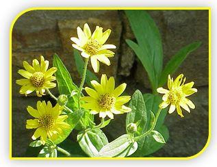 Цветки арники оказывают кровоостанавливающее действие, усиливают тонус и сокращения матки, а также обладают желчегонными свойствами