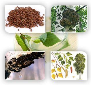 Береза — одно из полезнейших деревьев в народной медицине. Широкое применение нашли абсолютно все части растения: листья, почки, кора, сок.