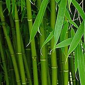 Согласно древним восточным традициям, бамбук обладает многочисленными целебными свойствами и является уникальным растением, способным восстанавливать баланс энергии в организме человека.