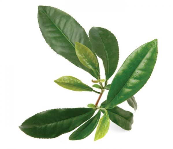 экстракт зеленого чая угнетает рост бактерий, а полифенолы зеленого и черного чая угнетают вирус гриппа. Необходимы дальнейшие исследования для подтверждения положительной роли экстракта или напитка зеленого чая в предупреждении или лечении инфекций у людей.