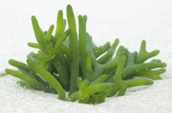 питательное вещество, источник ферментов, минералов, микроэлементов и антиоксидантов