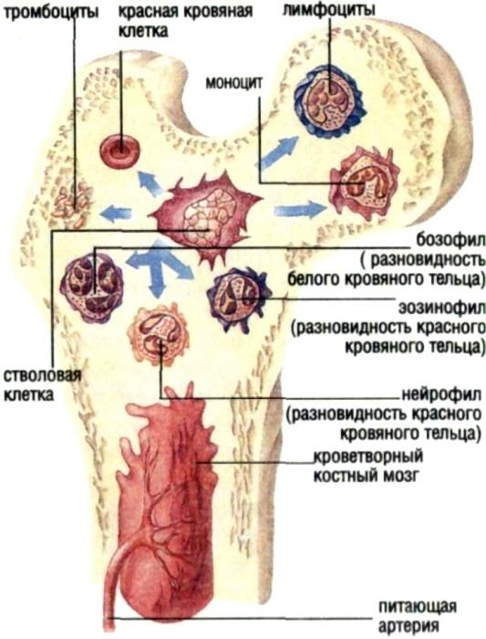 Дефицит витамина В9 или фолиевой кислоты приводит к нарушению образования красных кровяных телец в костном мозге