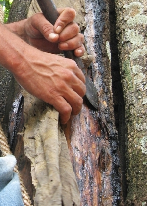 Толуанский бальзам (Myrospermum toluiferum) - высоко ценится парфюмерами в качестве закрепляющего раствора