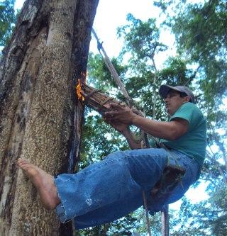 Panal и кора дерева, пропитанные смолой служат непосредственными источниками получения бальзама
