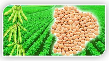 Соевый белок может повысить уровень гормона роста и окиси азота, что восстанавливает и укрепляет мышцы, помогает сжигать жир