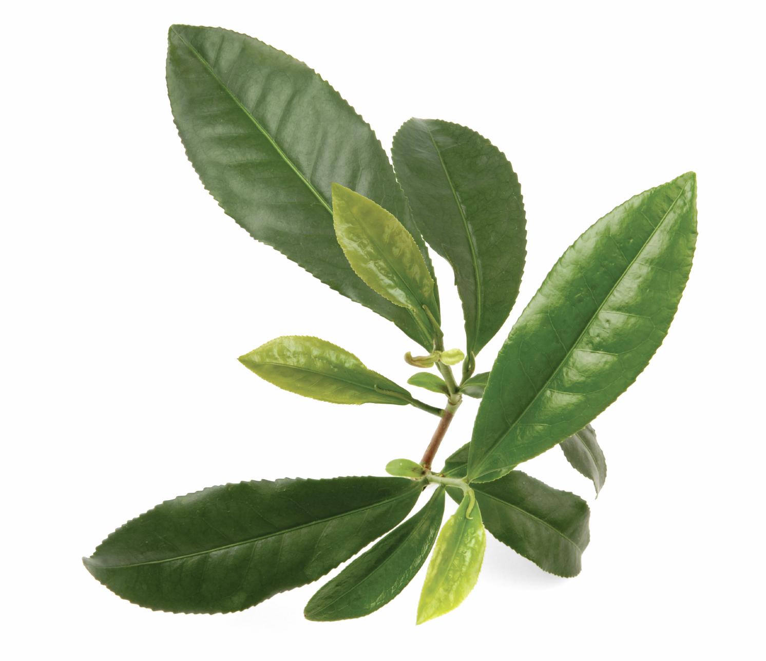 зеленый чай вода для похудения