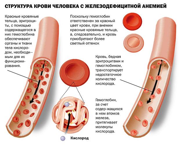 железо выполняет две главные функции – обеспечивает внутренние органы кислородом и поддерживает нормальный уровень кроветворения.