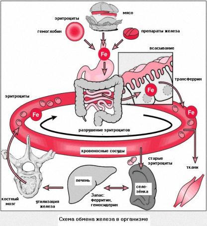 Железо - жизненно необходимый микроэлемент организма человека
