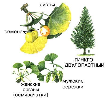 Гинкго – ценное, почти волшебное, растение, обладающее главным преимуществом – целебными листьями