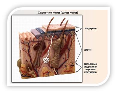 защитный слой кожи