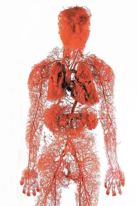 Кровеносная система человека