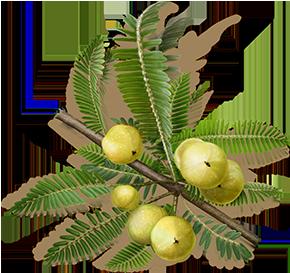 Лекарственное растение Эмблика