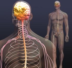 нервная система управляет человеком