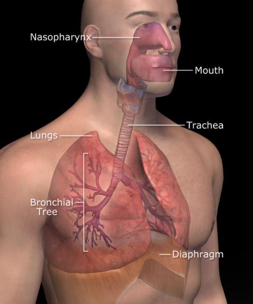 Органы дыхания - бронхи, легкие